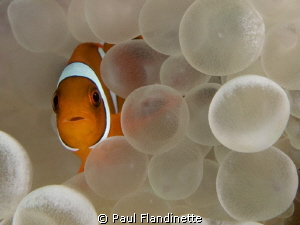 A tiny juvenile Western clown anemonefish (Amphiprion occ... by Paul Flandinette 